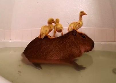 カピバラとアヒルの雛が一緒に入浴する映像