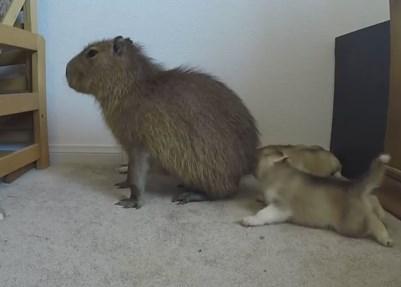 お尻を子犬に触られるカピバラ、怒ってないように見えて…