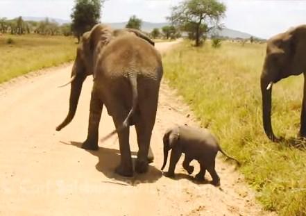 道路が怖い子象、親にサポートしてもらいながら横断