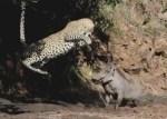 イボイノシシに襲いかかるヒョウ、「あっ、無理だ!」