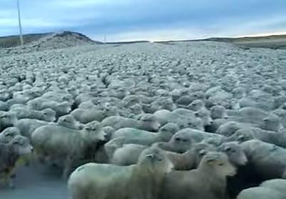 羊の巨大な群れと遭遇