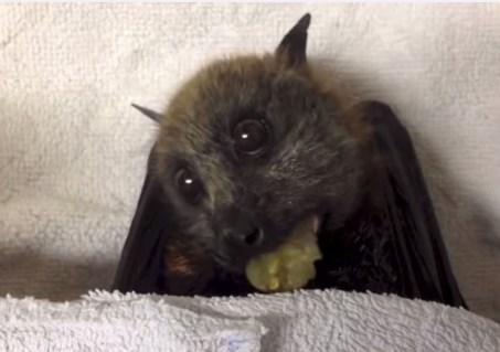 コウモリってこんなに可愛いんだ!コウモリが葡萄をムシャムシャ食べる映像