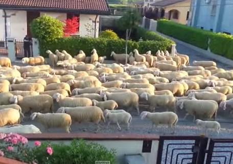 閑静な住宅街の道路が激しい羊渋滞