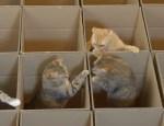 仕切ったダンボールで遊ぶネコたち