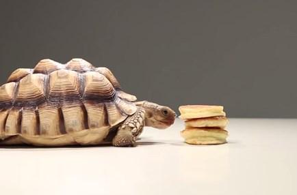 パンケーキを食べる亀の映像