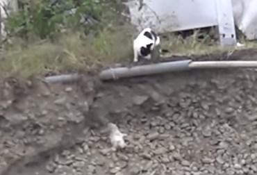 坂から転がり落ちた子猫を救助する母猫