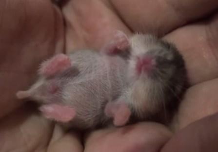 手の平の上のハムスターが夢を見て眠っている映像