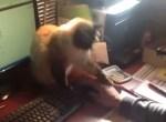 パソコンの操作を許してくれないニャンコ