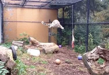ムササビのようなユキヒョウのジャンプ