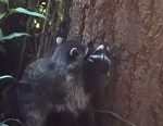 子供に木登りを教えるアライグマ