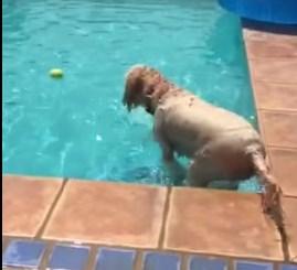 プールに浮かぶボールを天才的発想で取るワンコ
