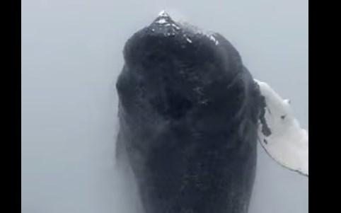ホエールウォッチング、目の前で巨大なクジラがジャンプ!