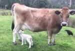 牛乳を飲む子羊