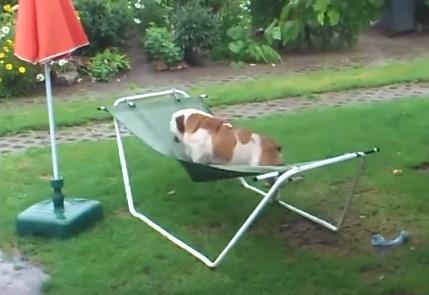雨の日にハンモックに乗って興奮するブルドッグ