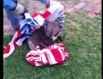プールに落ちたコアラを救出するもご機嫌斜めの模様