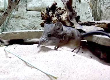 ハネジネズミ(ゾウトガリネズミ)がチェスター動物園でデビュー