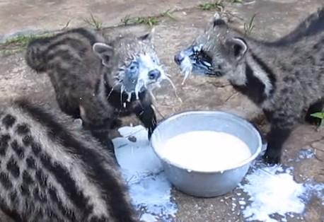ミルクを飲むのが下手くそなアフリカジャコウネコ
