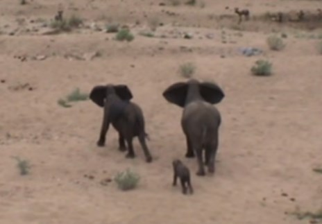リカオンの群れに狙われるゾウの赤ちゃん