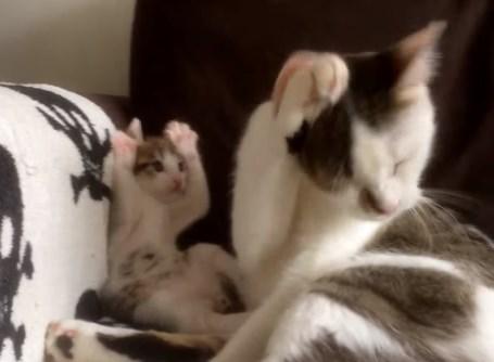 毛づくろいする母親の真似をする猫の赤ちゃん