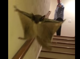 階段を滑空降下するムササビの映像