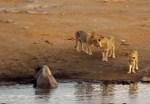 1頭のクロサイ vs. 3頭のライオン