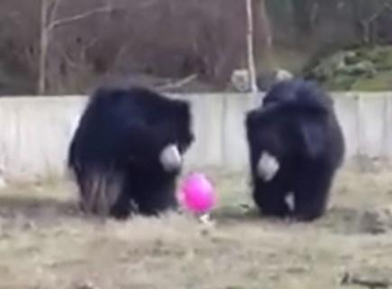 風船に興味津々な三匹の熊