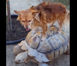 亀の背中に乗って移動するワンコの映像