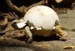 甲羅に卵の殻をのせて歩く孵化したばかりの亀の赤ちゃん