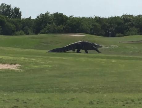 ゴルフ場に全長4メートルの巨大ワニ出没