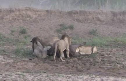 ライオンに襲われたバッファロー、まさかの事態で命拾い