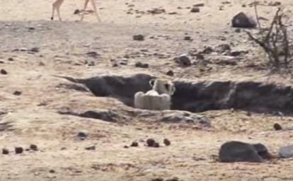 勢い良く飛び出したライオン、水溜まりの深みに足を取られ狩り失敗