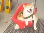満足顔でブランコを楽しむ柴犬