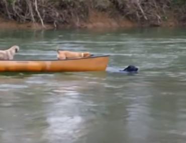 座礁したボートをラブラドールがレスキュー