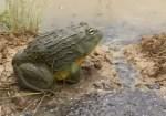 我が子のためにカエルのパパが治水工事