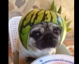 スイカのヘルメットをかぶるパグ犬