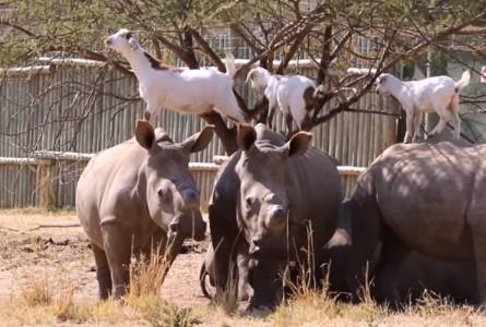 サイの背中の上で遊ぶヤギの映像