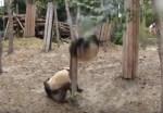 パンダが木の上から落ちてきた!