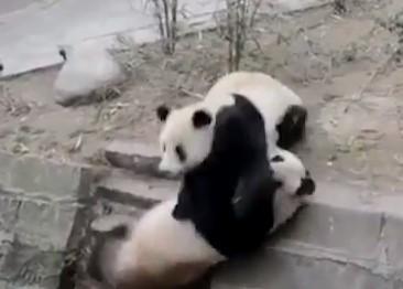 パンダがパンダを転落させてしまい逃走