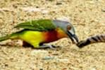 ヘビ vs. 鳥   鳥に襲われるヘビ