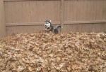 落ち葉の山に突っ込んではしゃぐハスキー犬