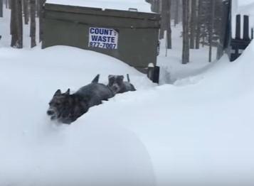 ジャーマン・シェパードが雪に囲まれたワンコを救助