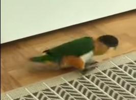 ムーンウォークする鳥