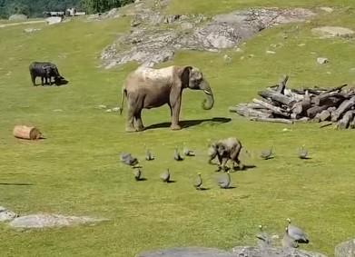 鳥を追いかける象の赤ちゃん、転んで「お母さ~ん」