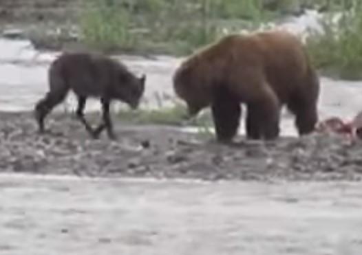 お昼寝中の熊から獲物を横取りしようとするオオカミ