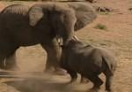 若いゾウ vs. サイ