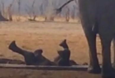 水溜りにハマった象の赤ちゃん、そこにライオンが現れる