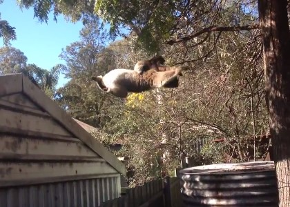屋根から木に向かってジャンプするコアラ