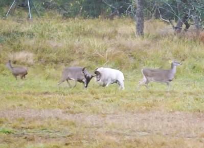 羊が鹿の群れに襲いかかるも反撃され追い払われる