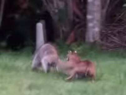 アライグマ vs. ボブキャット