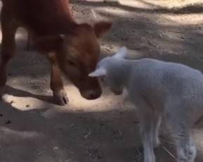 子牛に優しく頭突する子羊